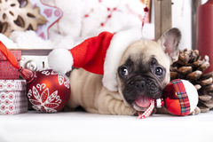 Christmas French Bulldog Stock Photo