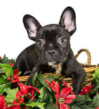 Christmas Frenchie Royalty Free Stock Image