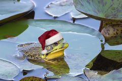 Christmas frog. A bullfrog is sitting on a lily pad wearing a santa hat Royalty Free Stock Images