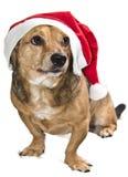Christmas funny dog. A brown christmas funny dog Stock Image