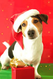 Christmas funny dog - jack russell for postcard. Christmas, new year funny dog with red hat and gift box for postcard Royalty Free Stock Image
