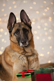 Christmas German Shepherd Dog Royalty Free Stock Photography