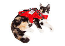 Christmas Gift Calico Cat Royalty Free Stock Image