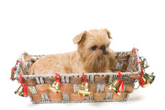 Christmas Gift - Griffon Bruxellois Royalty Free Stock Images