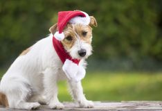 Christmas gift surprise puppy pet dog with Santa hat stock image