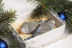 Christmas gift, two small bird Royalty Free Stock Photo