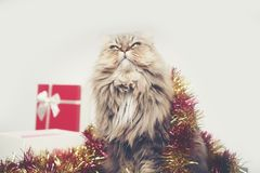Christmas gifts With Persian cats Royalty Free Stock Images