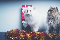 Christmas gifts With Persian cats Royalty Free Stock Photos