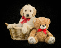 Christmas Golden doodle Stock Images