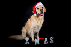 Christmas Golden Retriever Royalty Free Stock Images
