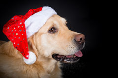 Christmas Golden Retriever Royalty Free Stock Photos