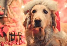 Christmas Golden retriever. Golden retriever in Christmas with santa-hat Stock Photo