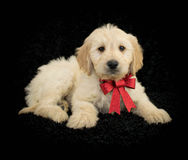 Christmas Goldendoodle Stock Photo