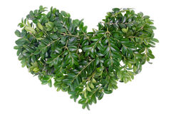 Christmas green heart concept. From evergreen plant Boxwood. Isolated, selective focus stock photos