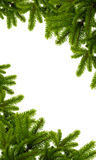Christmas green plant. Tree Christmas green plant on the white background Stock Photo