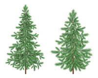 Christmas green spruce fir trees. Green Christmas holiday spruce fir trees  on white background Royalty Free Stock Photo