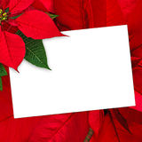 Christmas greeting card poinsettia decoration with copy space Royalty Free Stock Photo