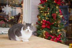 Christmas grey and white cat Stock Photography
