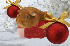 Christmas Guinea Pig. Guinea pig in red box surrounded by christmas elements stock photo
