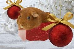 Christmas Guinea Pig Stock Photo
