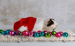 Christmas guinea pig. Guinea pig with christmas decoration in studio Stock Image