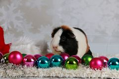 Christmas guinea pig. Guinea pig with christmas decoration in studio Royalty Free Stock Photos