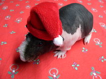 Christmas guinea Pig Royalty Free Stock Photography