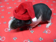 Christmas guinea Pig. Skinny guinea pig with a cap of Santa Claus on Christmas tablecloth Stock Image