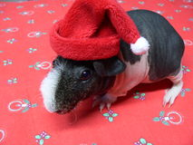 Christmas guinea Pig Stock Photography