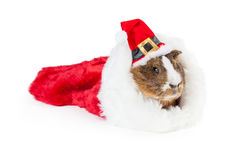 Christmas Guinea Pig in Stocking. Cute pet guinea pig in a Christmas stocking wearing a red Santa Claus hat Stock Photos