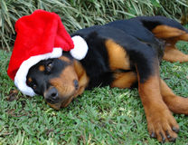 Christmas hat rottweiler Royalty Free Stock Photography