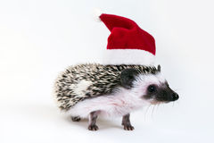 Christmas hedgehog Stock Photos