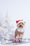 Christmas holiday dog Yorkshire Terrior on red sled royalty free stock photography