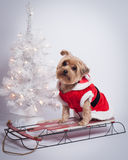Christmas holiday dog Yorkshire Terrior on red sled. Small dog ion a red sled n Christmas dress outfit with christmas lights and white tree in background royalty free stock photo