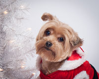 Christmas holiday dog Yorkshire Terrior. Small dog in Christmas dress with christmas lights and white tree in background stock photo