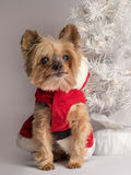Christmas holiday dog Yorkshire Terrior royalty free stock photography