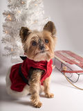 Christmas holiday dog Yorkshire Terrior. Tiny dog in Christmas dress with christmas lights, red sled and white tree in background stock photography