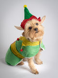 Christmas holiday elf dog Yorkshire Terrior. Small dog in Christmas elf out with elf hat qne ears on a white background royalty free stock image