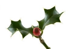 Christmas holly. A sprig of Christmas holly with a red berry stock photos