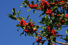 Christmas Holly. A holly bush loaded with ripe red berries. This is late autumn, early winter stock photography