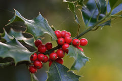 Christmas holly. With red berries stock photos
