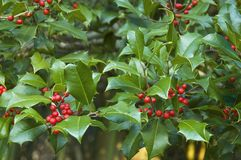Christmas holly branches background wallpaper
