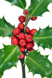Christmas Holly Leaves & Berries Closeup Royalty Free Stock Image