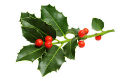 Christmas Holly Leaves and Berries royalty free stock image