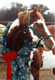 Christmas Horse. American Paint Horse stallion with blue eyes wearing garland with red bow under gray winter sky Stock Photography