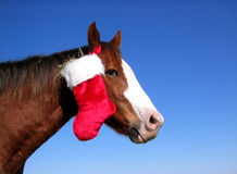 Christmas Horse. Ranch gelding in north Texas carries his Christmas stocking looped over his ear, stocking is stuffed with hay, brilliant blue winter sky Royalty Free Stock Photos