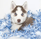 Christmas Husky Puppy Royalty Free Stock Photos