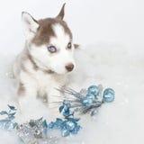 Christmas Husky Puppy Royalty Free Stock Photo