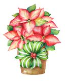 Christmas illustration of the blooming poinsettia plant in a pot royalty free stock photo