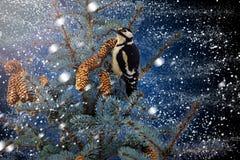 Christmas illustration of woodpecker on fir. Winter, wildlife, birds Stock Image